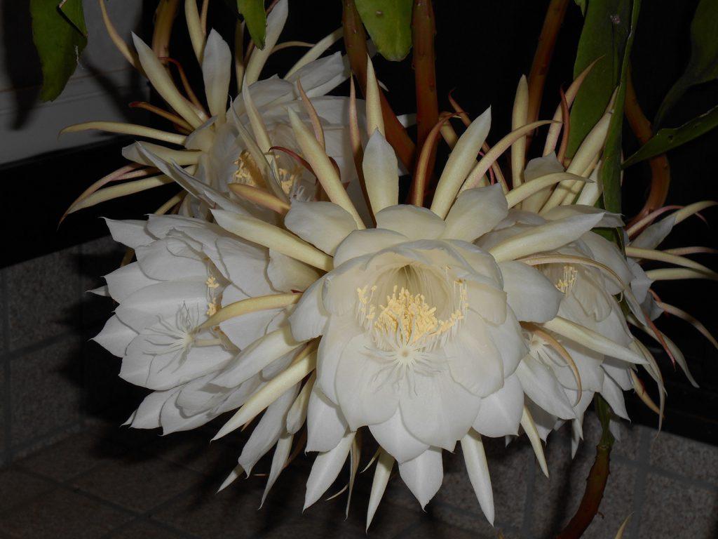 月下美人の六連開花